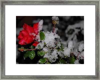 Snow Rose Framed Print by Mim White