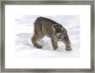 Snow-shovelling Lynx Framed Print by Dee Cresswell