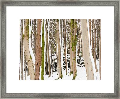 Snow Stuck To East Side Of Tree Trunks Framed Print by Ashley Cooper