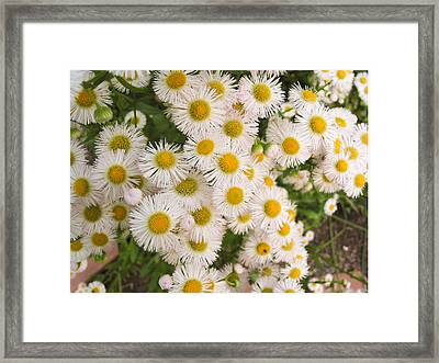 Snow White Asters Framed Print