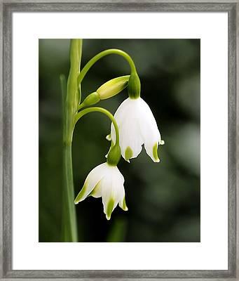 Snowbells In Spring Framed Print by Rona Black