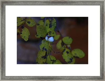 Snowberries Framed Print by Dorothy Hall