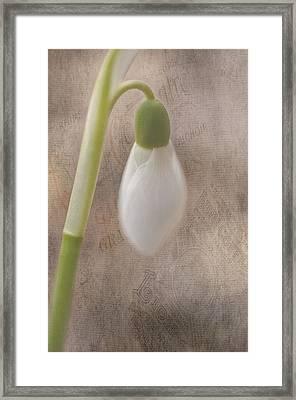 Snowdrop Bud Framed Print by Faith Simbeck
