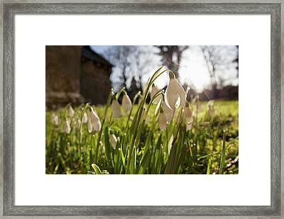 Snowdrop Flowers In The Sunlight Framed Print