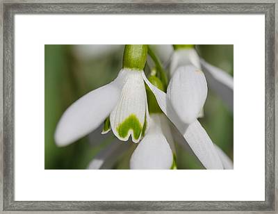 Snowdrops Framed Print by Andreas Levi
