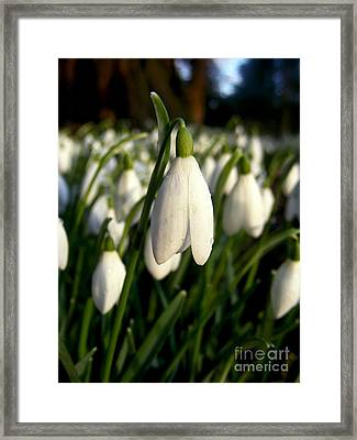 Framed Print featuring the photograph Snowdrops by Nina Ficur Feenan