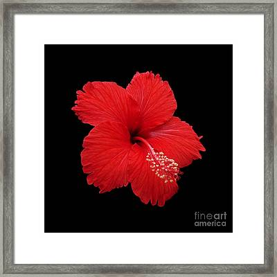 Framed Print featuring the photograph Snowflake Hibiscus by Judy Whitton
