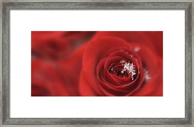 Snowflakes On A Rose Framed Print by Lori Grimmett