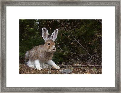Snowshoe Hare Changing Colors Framed Print by Tom Reichner
