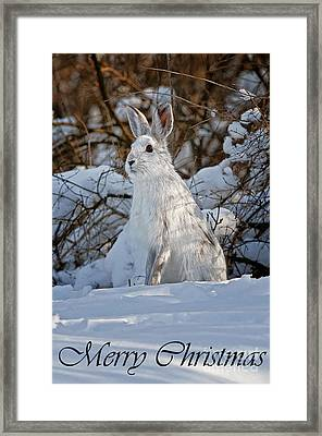 Snowshoe Hare Christmas Card 4 Framed Print by Michael Cummings