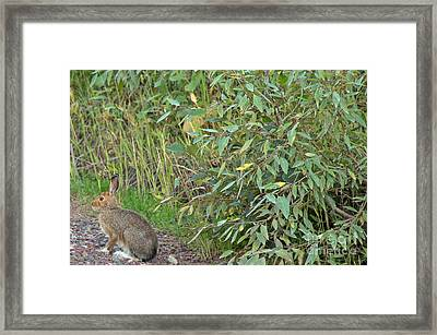 Snowshoe Hare In Montana Framed Print by Natural Focal Point Photography