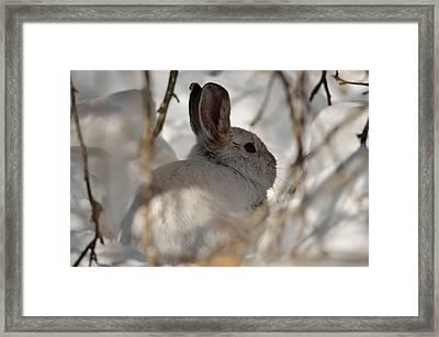 Snowshoe Hare Framed Print by James Petersen