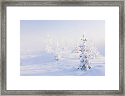 Snowy Birch And Evergreen Trees In An Framed Print by Kevin Smith