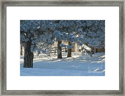 Snowy Blue Pines Framed Print