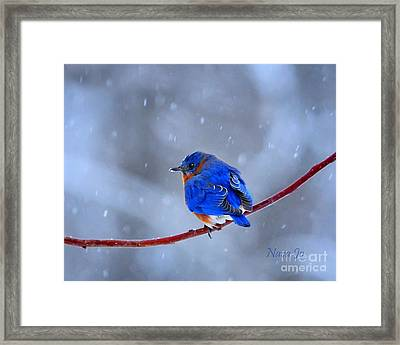 Snowy Bluebird Framed Print