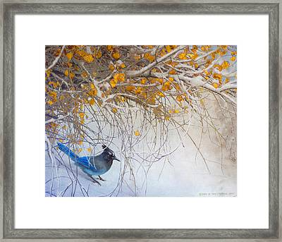 Snowy Branches Stellar Jay Framed Print by R christopher Vest