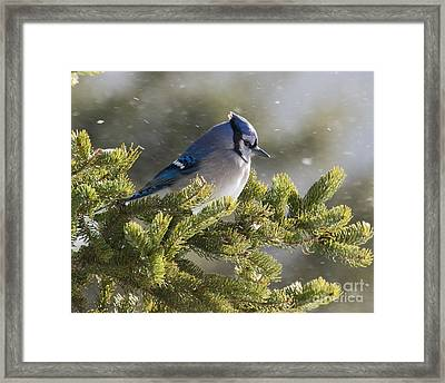 Snowy Day Blue Jay Framed Print
