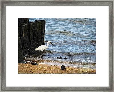 Snowy Egret At The Shore Framed Print