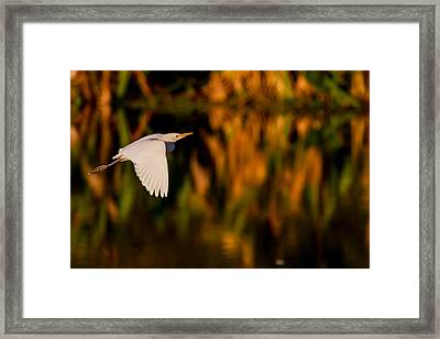 Snowy Egret Climbing Up To The Sky Framed Print by Andres Leon