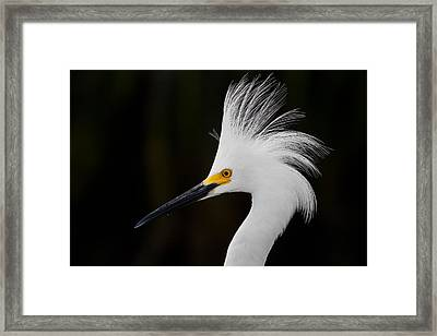 Snowy Egret Crown Framed Print by Andres Leon