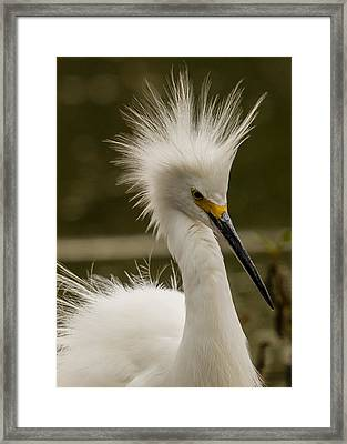 Snowy Egret Display Framed Print
