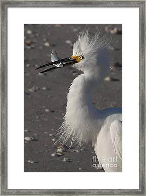 Snowy Egret Fishing Framed Print