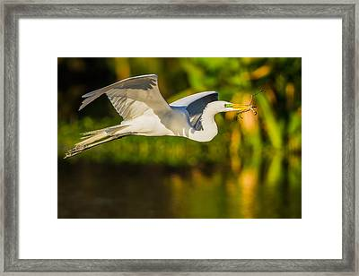 Snowy Egret Flying With A Branch Framed Print by Andres Leon