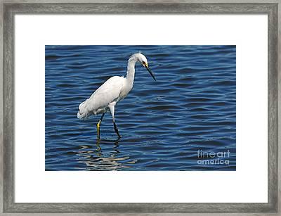 Snowy Egret Foraging Framed Print by Olivia Hardwicke