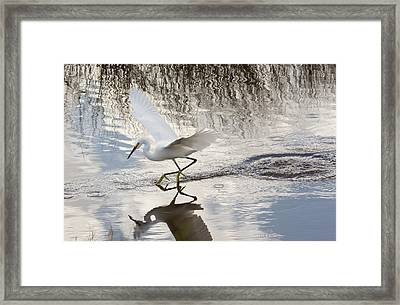 Snowy Egret Gliding Across The Water Framed Print by John M Bailey