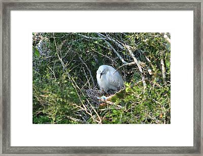 Snowy Egret In Nest Framed Print by Gregory G. Dimijian