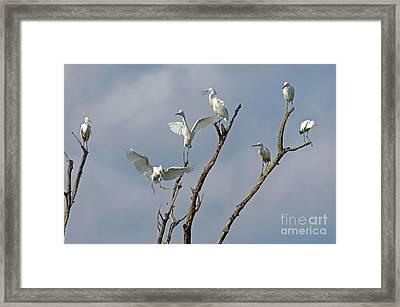 Snowy Egret Inn Framed Print by Olivia Hardwicke