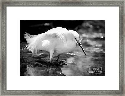 Snowy Egret Framed Print by Jennifer Magallon