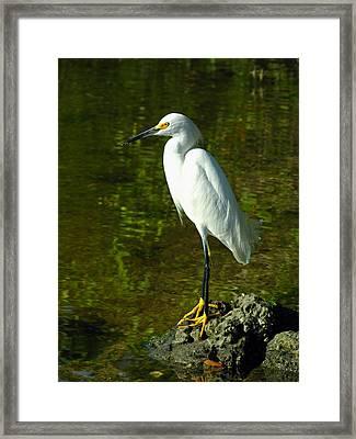 Snowy Egret Framed Print by Juergen Roth