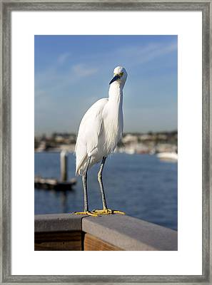 Snowy Egret Framed Print by Kelley King
