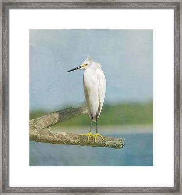 Snowy Egret Framed Print by Kim Hojnacki