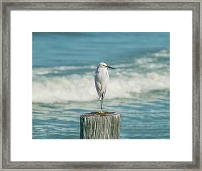 Snowy Egret - Naples Beach Framed Print by Kim Hojnacki