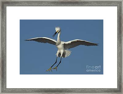 Framed Print featuring the photograph Snowy Egret Photo by Meg Rousher