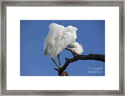 Framed Print featuring the photograph Snowy Egret Photograph by Meg Rousher
