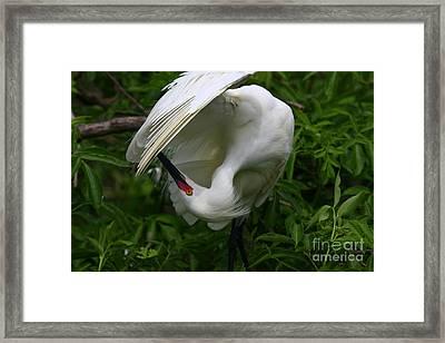 Snowy Egret Preening Framed Print