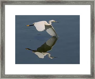 Snowy Egret Reflecting Framed Print by Myrna Bradshaw
