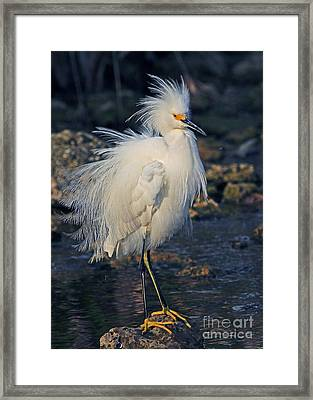 Snowy Egret Show Off Framed Print by Larry Nieland