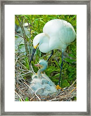 Snowy Egret Tending Young Framed Print