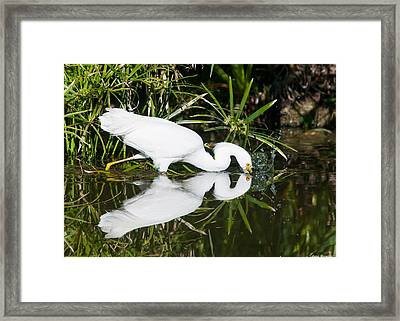 Snowy Egret With Reflection Framed Print