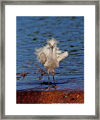 Snowy Egret With Yellow Feet Framed Print