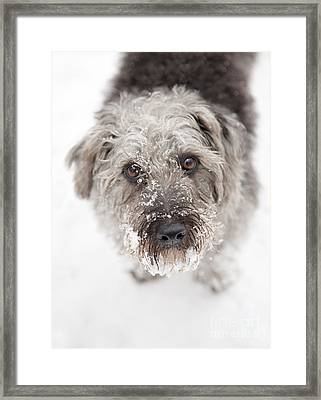 Snowy Faced Pup Framed Print by Natalie Kinnear