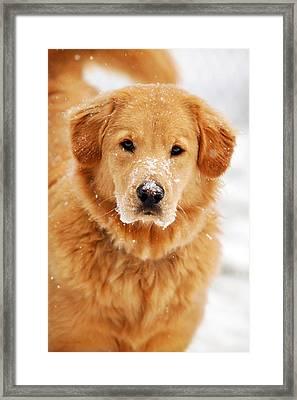 Snowy Golden Retriever Framed Print by Christina Rollo