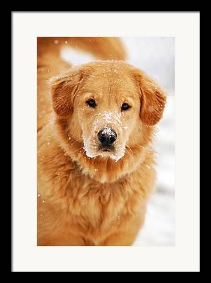 Snowy Golden Retriever Framed Prints