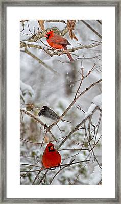 Snowy Grace Cardinals Framed Print by Betsy Knapp