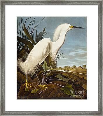 Snowy Heron Or White Egret Framed Print by John James Audubon