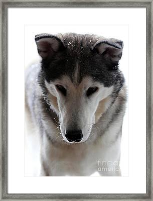 Snowy Husky Nanuk Framed Print by Marjorie Imbeau